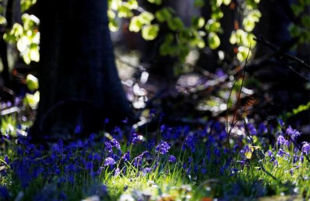 Rực rỡ sắc hoa Chuông xanh ở những khu rừng nước Bỉ - Ảnh 18.
