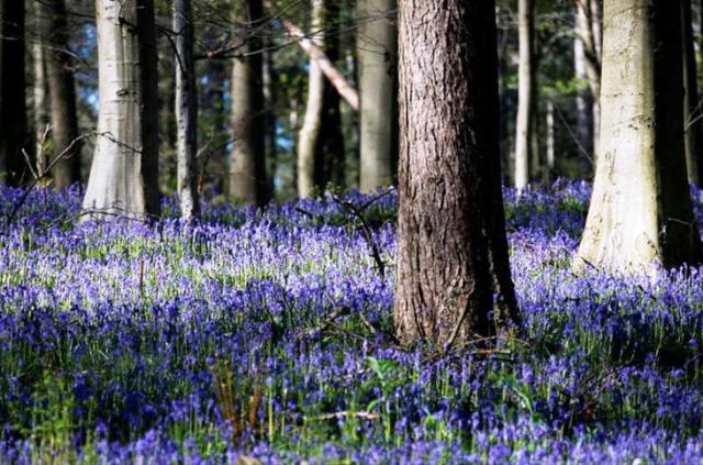 Rực rỡ sắc hoa Chuông xanh ở những khu rừng nước Bỉ - Ảnh 17.