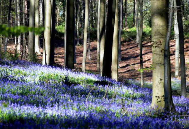 Rực rỡ sắc hoa Chuông xanh ở những khu rừng nước Bỉ - Ảnh 16.