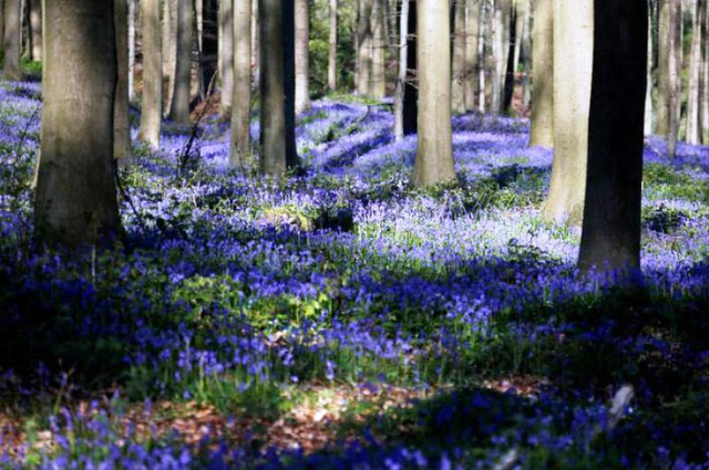 Rực rỡ sắc hoa Chuông xanh ở những khu rừng nước Bỉ - Ảnh 19.