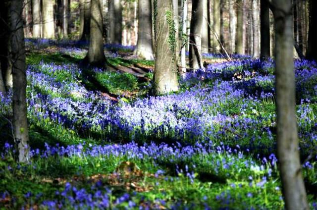 Rực rỡ sắc hoa Chuông xanh ở những khu rừng nước Bỉ - Ảnh 20.