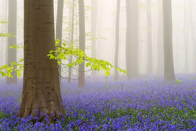 Rực rỡ sắc hoa Chuông xanh ở những khu rừng nước Bỉ - Ảnh 7.