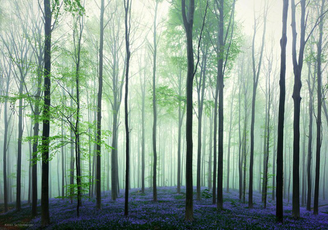 Rực rỡ sắc hoa Chuông xanh ở những khu rừng nước Bỉ - Ảnh 3.