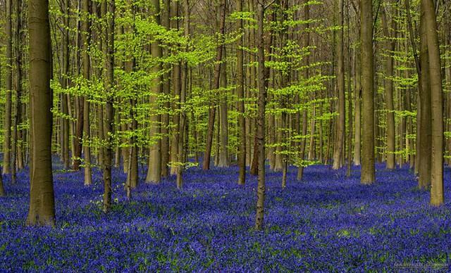 Rực rỡ sắc hoa Chuông xanh ở những khu rừng nước Bỉ - Ảnh 6.