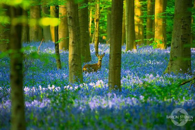 Rực rỡ sắc hoa Chuông xanh ở những khu rừng nước Bỉ - Ảnh 9.