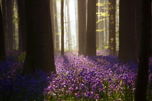 Rực rỡ sắc hoa Chuông xanh ở những khu rừng nước Bỉ - Ảnh 1.