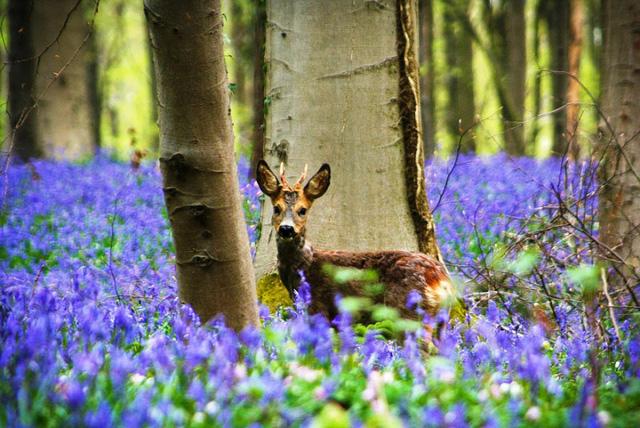 Rực rỡ sắc hoa Chuông xanh ở những khu rừng nước Bỉ - Ảnh 12.