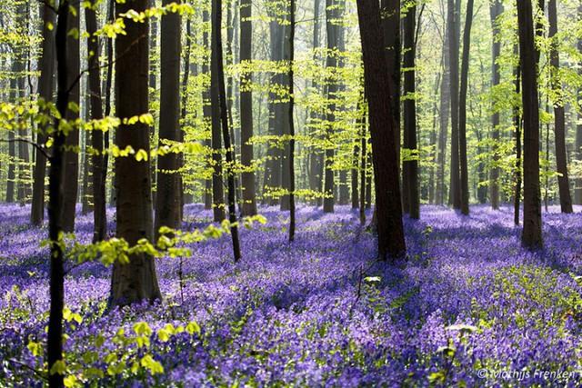 Rực rỡ sắc hoa Chuông xanh ở những khu rừng nước Bỉ - Ảnh 11.