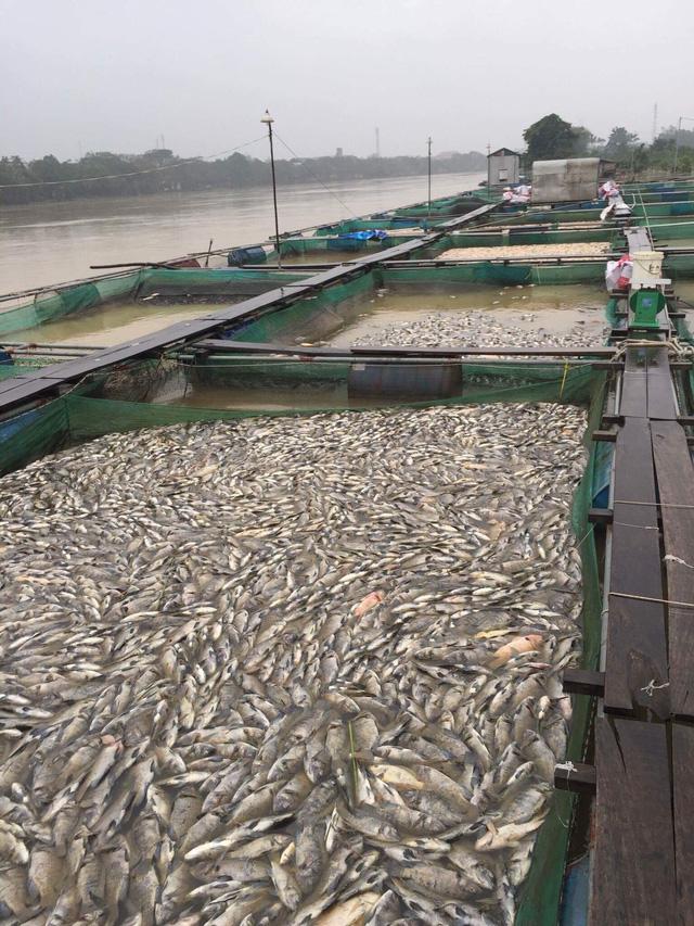 Thừa Thiên Huế: Hàng trăm tấn cá chết trắng, bị lũ cuốn trôi - Ảnh 1.