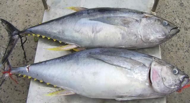 Cá ngừ với những lợi ích bất ngờ cho sức khỏe - Ảnh 3.
