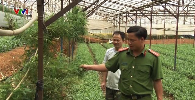 Phát hiện 25kg cần sa trồng trong nhà kính tại Đà Lạt - Ảnh 1.