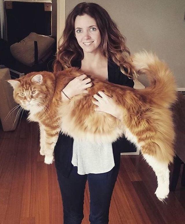 Chú mèo lập kỷ lục thế giới với chiều dài 1,2m - Ảnh 2.