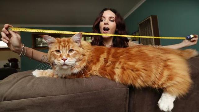 Chú mèo lập kỷ lục thế giới với chiều dài 1,2m - Ảnh 1.