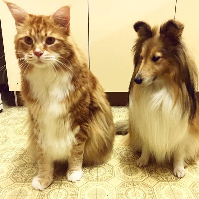 Chú mèo lập kỷ lục thế giới với chiều dài 1,2m - Ảnh 4.