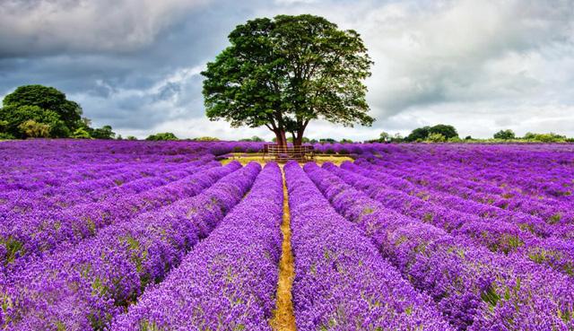 Mô hình kinh doanh vườn hoa oải hương ở Anh - Ảnh 1.