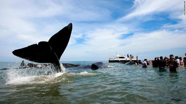 Nỗ lực cứu 10 con cá voi mắc cạn tại Indonesia - Ảnh 3.