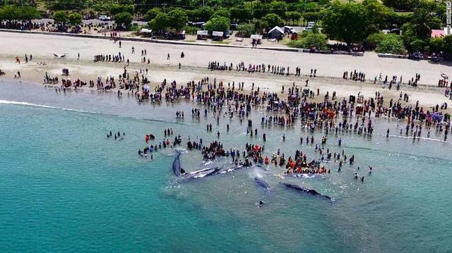 Nỗ lực cứu 10 con cá voi mắc cạn tại Indonesia - Ảnh 2.
