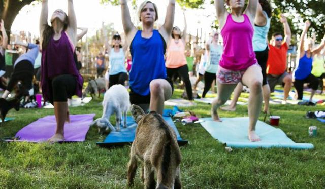 Tập yoga với... dê - Cách rèn luyện sức khỏe mới tại Mỹ - Ảnh 1.