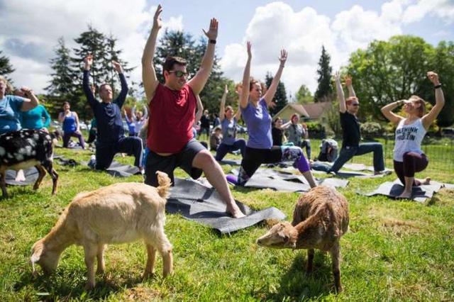 Tập yoga với... dê - Cách rèn luyện sức khỏe mới tại Mỹ - Ảnh 2.