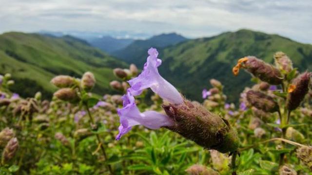 Độc đáo loài hoa chỉ nở 12 năm một lần ở Ấn Độ - Ảnh 2.