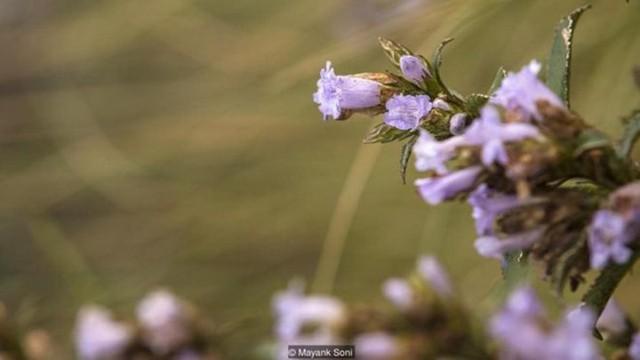 Độc đáo loài hoa chỉ nở 12 năm một lần ở Ấn Độ - Ảnh 11.