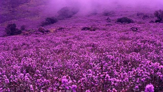 Độc đáo loài hoa chỉ nở 12 năm một lần ở Ấn Độ - Ảnh 4.