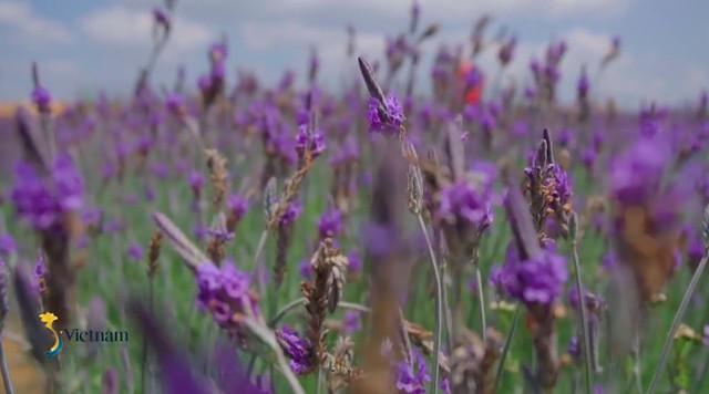 Cùng Đào của Quỳnh búp bê check in cánh đồng hoa oải hương gây sốt ở Đà Lạt - Ảnh 6.