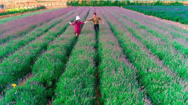 Cùng Đào của Quỳnh búp bê check in cánh đồng hoa oải hương gây sốt ở Đà Lạt - Ảnh 1.