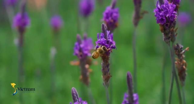 Cùng Đào của Quỳnh búp bê check in cánh đồng hoa oải hương gây sốt ở Đà Lạt - Ảnh 4.
