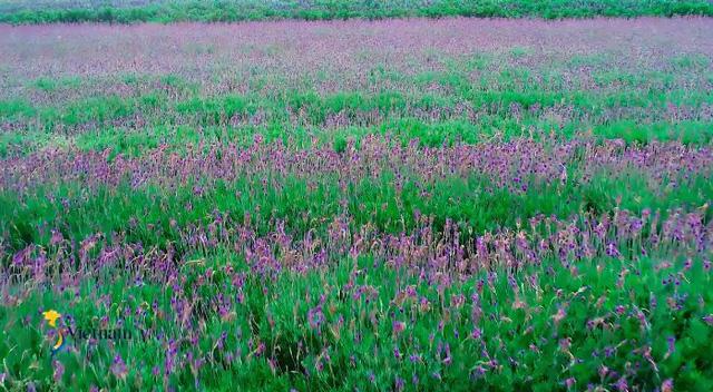 Cùng Đào của Quỳnh búp bê check in cánh đồng hoa oải hương gây sốt ở Đà Lạt - Ảnh 3.