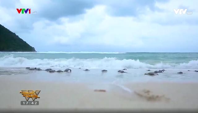 Những người cha chăm sóc cho hàng nghìn chú rùa con mỗi năm tại Côn Đảo - Ảnh 1.
