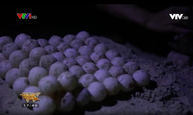 Những người cha chăm sóc cho hàng nghìn chú rùa con mỗi năm tại Côn Đảo - Ảnh 4.