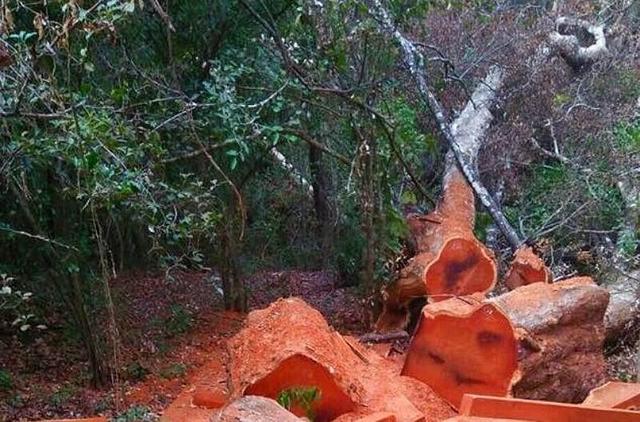 Thêm vụ phá rừng quy mô lớn tại Vườn quốc gia Yok Đôn - Ảnh 1.