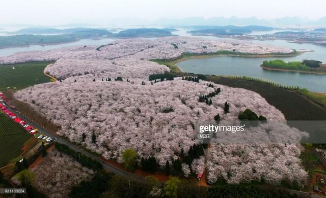 Mùa hoa nở Trung Quốc thu hút hàng ngàn khách du lịch - Ảnh 4.