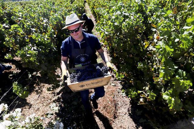 Trải nghiệm thu hoạch nho làm rượu vang ở Chile - Ảnh 1.