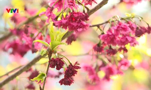 Rực rỡ sắc hoa anh đào tại Đài Loan, Trung Quốc - Ảnh 2.