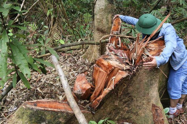 Sau pơ mu, rừng lim lại bị xẻ thịt ở Quảng Nam: Vì sao máu rừng vẫn chảy? - Ảnh 1.