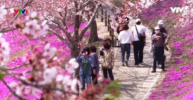 Hoa anh đào Nhật Bản nở rộ đón Xuân - Ảnh 7.