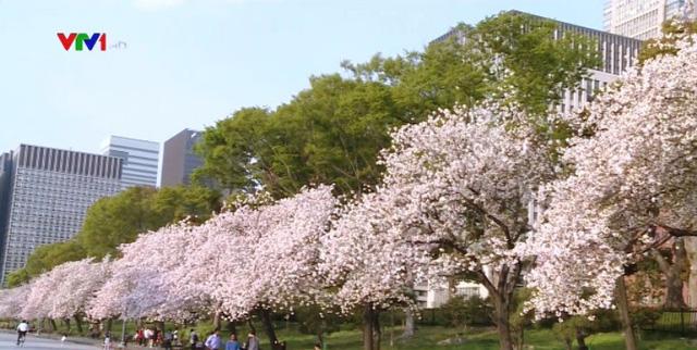 Hoa anh đào Nhật Bản nở rộ đón Xuân - Ảnh 5.