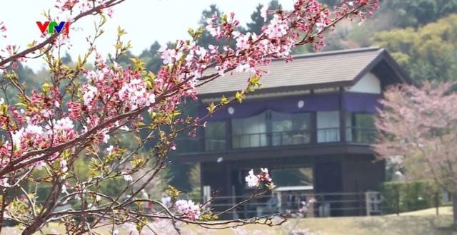Hoa anh đào Nhật Bản nở rộ đón Xuân - Ảnh 2.