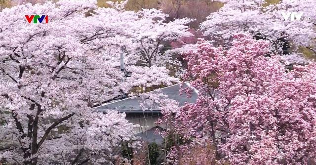 Hoa anh đào Nhật Bản nở rộ đón Xuân - Ảnh 4.
