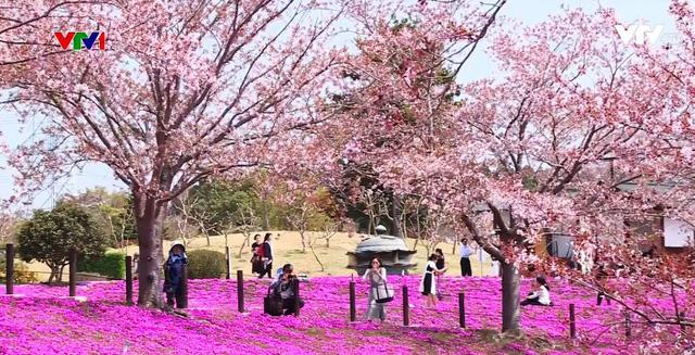 Hoa anh đào Nhật Bản nở rộ đón Xuân - Ảnh 1.