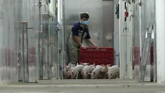 Cao ốc cho lợn - Xu hướng chăn nuôi mới ở Trung Quốc - Ảnh 1.