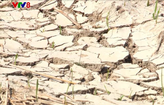 Ninh Thuận ngừng sản xuất trên 6.000 ha vì hạn hán - Ảnh 2.