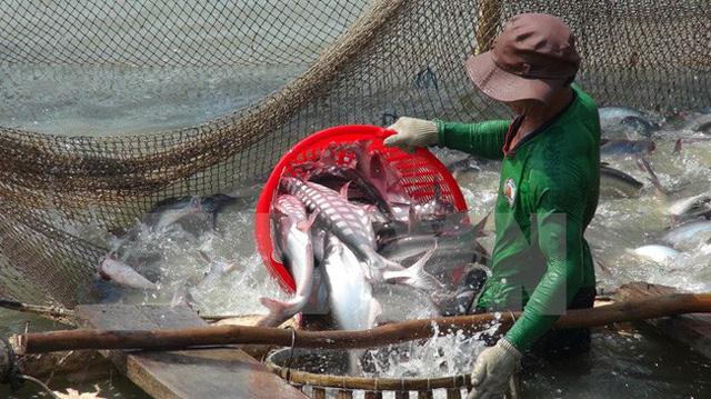 ĐBSCL: Người dân ồ ạt cải tạo, phá ruộng, đào ao nuôi cá tra - Ảnh 1.