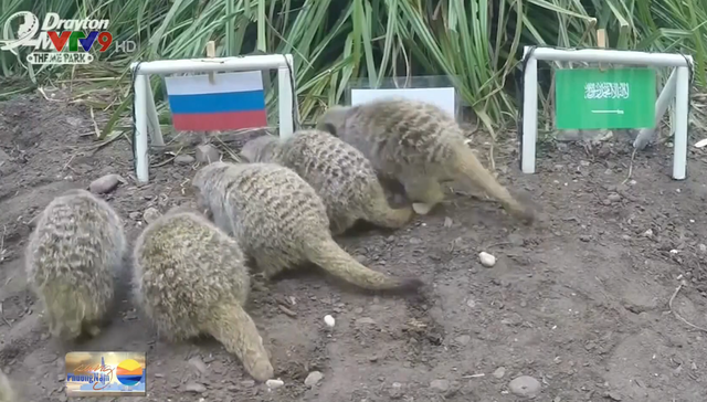 Chồn đất dự đoán Nga thắng trận khai mạc World Cup - Ảnh 1.
