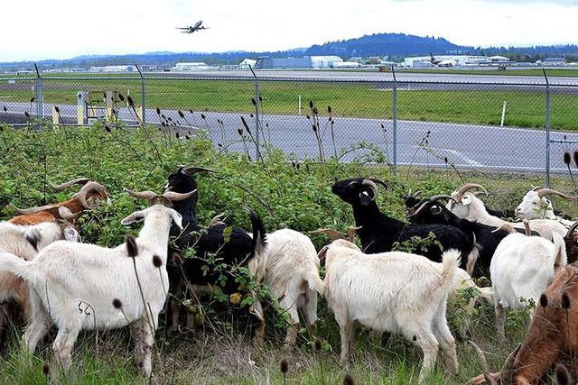 Những động vật thay người làm việc ở sân bay - Ảnh 3.