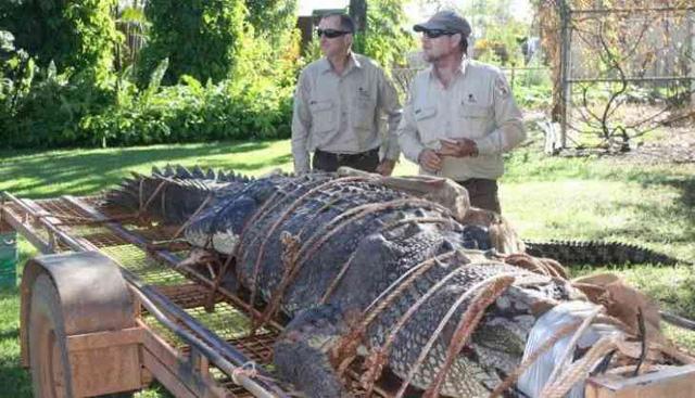 Australia: Bắt cá sấu khổng lồ nặng 600kg - Ảnh 1.