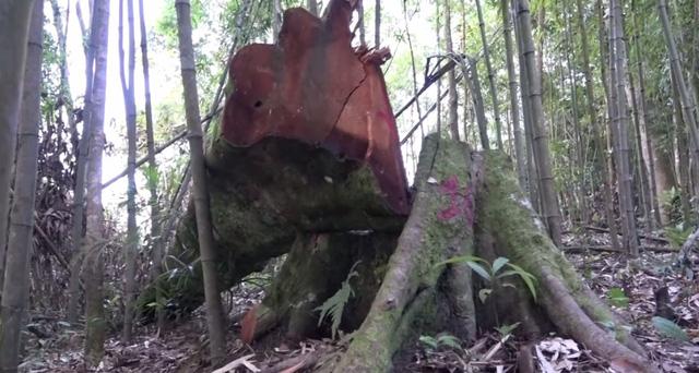 Toàn cảnh vụ phá rừng tự nhiên quy mô lớn tại Bắc Kạn (19h ngày 8/8, VTV1) - Ảnh 2.