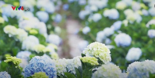 Vườn cẩm tú cầu đẹp ngất ngây khiến ai cũng muốn đến Đà Lạt check-in ngay - Ảnh 2.
